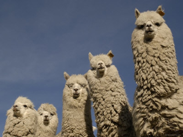 Are these alpacas or llamas? Alpacas have more fleece, so me thinks alpacas...